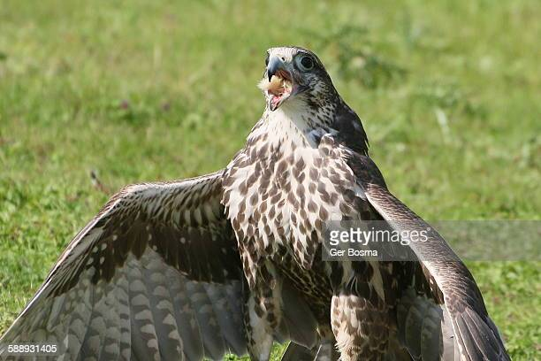 saker falcon dinner - chicken hawk stock pictures, royalty-free photos & images