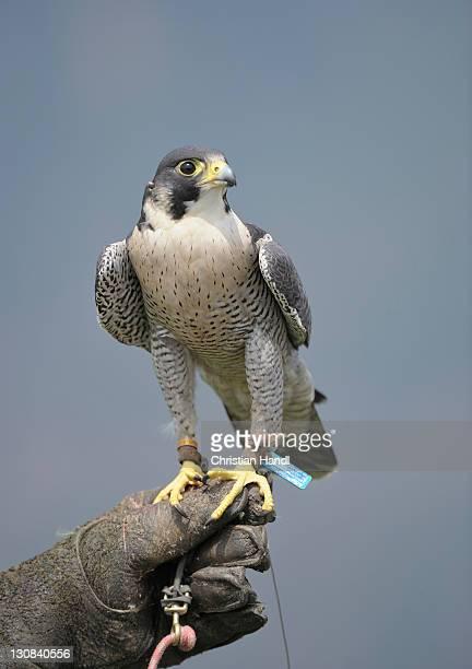 Saker Falcon (Falco cherrug), Eagle Park at Burg Landskron Castle, Carinthia, Austria, Europe