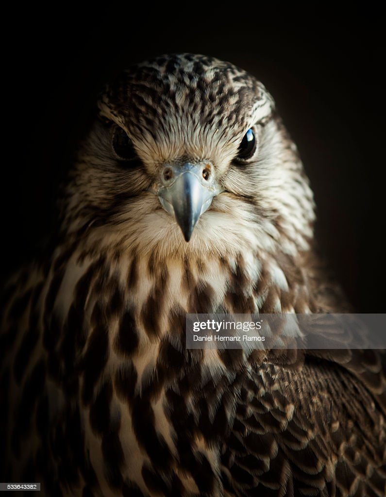 Saker falcon. Falco cherrug : Stock Photo