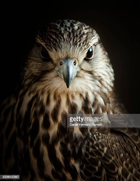 saker falcon. falco cherrug - hawk bird stock photos and pictures