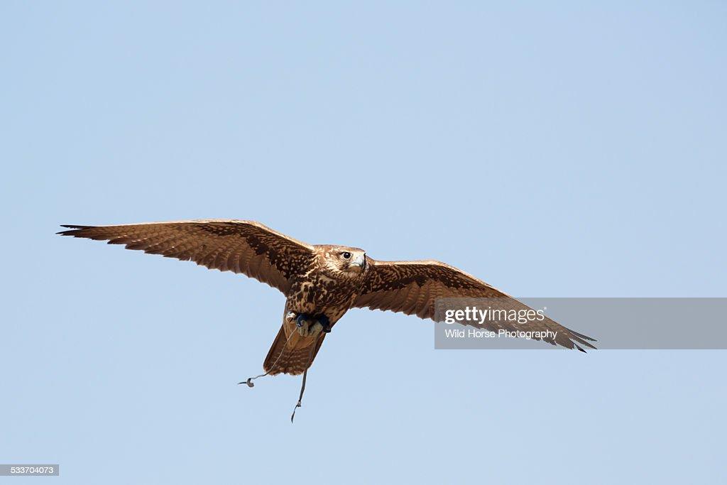 Saker(famale) Falcon in flight : Foto stock
