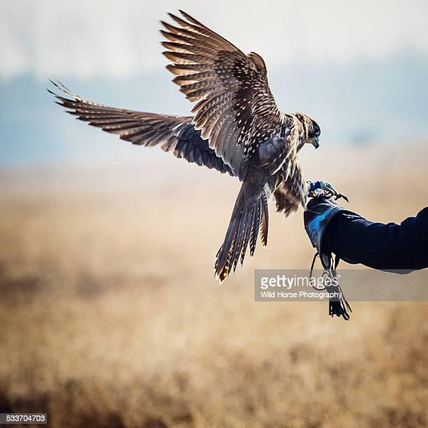 Saker (famale) Falcon landing