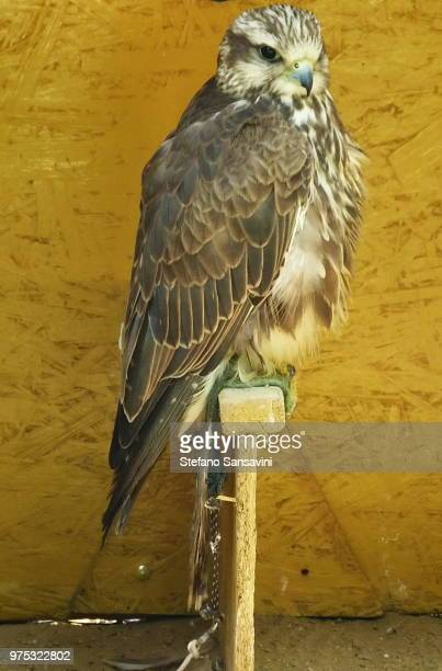 saker falcon - czech hunters stock pictures, royalty-free photos & images
