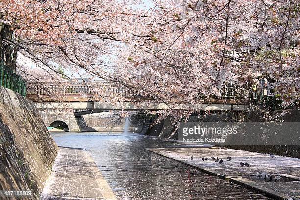 sakura above the river - 岐阜県 ストックフォトと画像