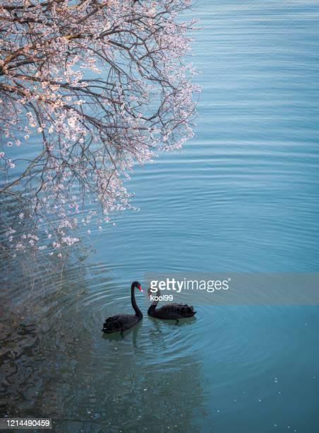 さくらと黒い白鳥 - コクチョウ ストックフォトと画像