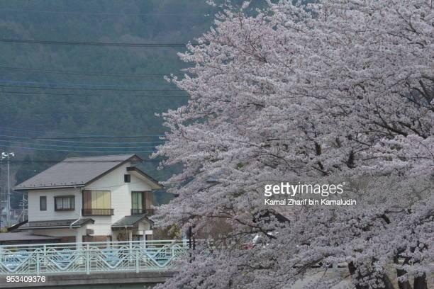Sakura and Japanese house