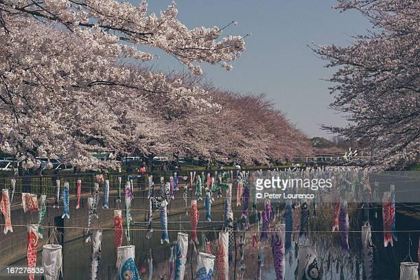 sakura and koinoburi - peter lourenco fotografías e imágenes de stock