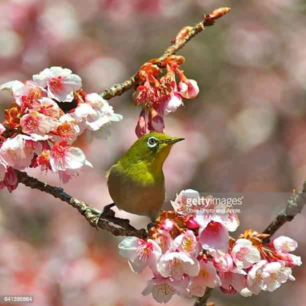 Sakura and Mejiro