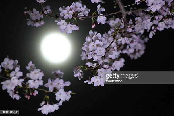 sakura and the moon - pink moon stock pictures, royalty-free photos & images
