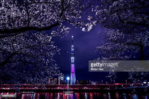 sakura at night - nee nee stock pictures, royalty-free photos & images
