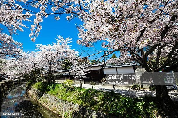 Sakura (Cherry blossom) at Philosopher's Path