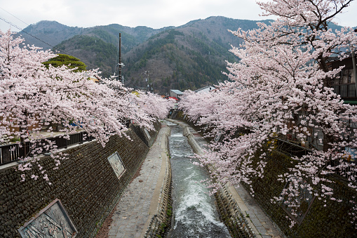 Sakura at rural area - gettyimageskorea