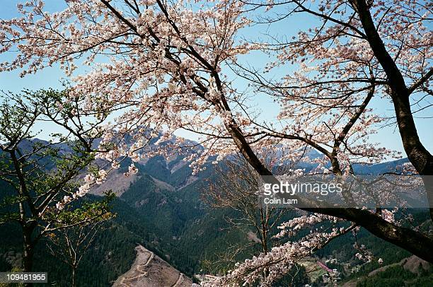 sakura at sakurayama park - gunma prefecture stock photos and pictures