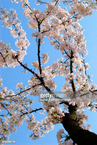 Sakura at Shanghai