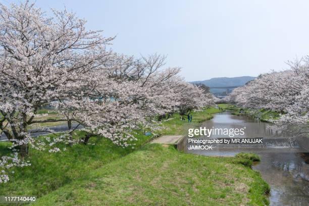 sakura blooming at tamayugawa riverbank, japan - 鳥取県 無人 ストックフォトと画像