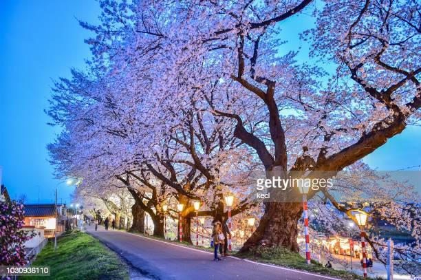 sakura blooming in ogawara - 桜吹雪 ストックフォトと画像