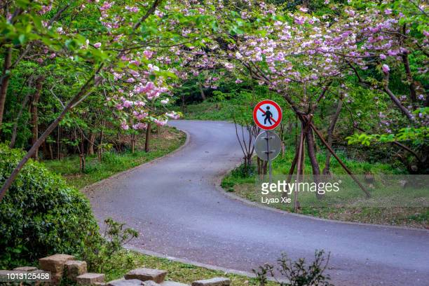 sakura blossom along the road - liyao xie stock pictures, royalty-free photos & images