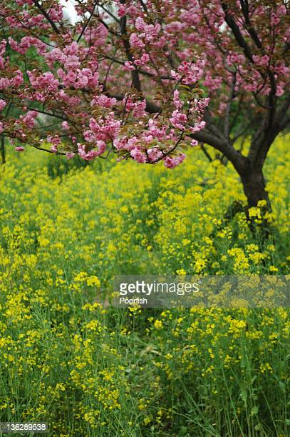sakura blossom and rapeseed field - wuhan stock photos and pictures