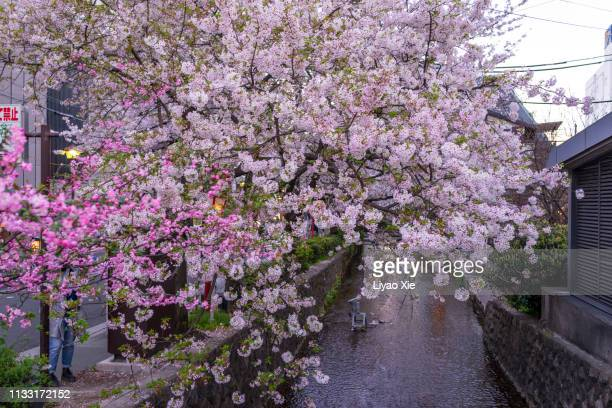 sakura blossom in kyoto - liyao xie stock pictures, royalty-free photos & images