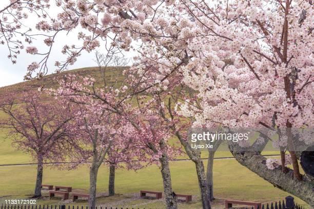 sakura blossom in nara - liyao xie stock pictures, royalty-free photos & images