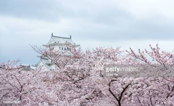sakura blossom - liyao xie stock pictures, royalty-free photos & images