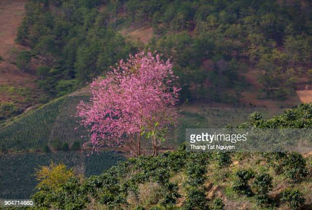 Sakura blossoming in forest in spring