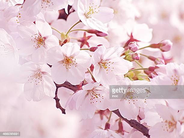 Sakura Blossoms 2