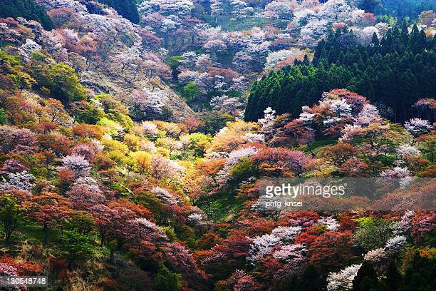 Sakura blossoms and their leaves