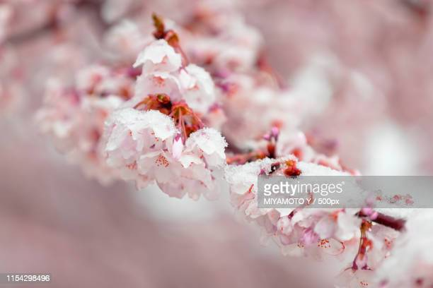 sakura blossoms with snow - miyamoto y ストックフォトと画像