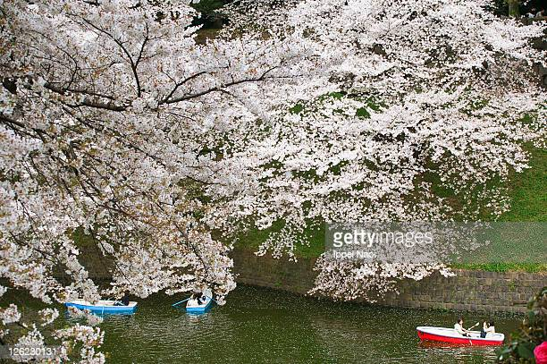sakura cherry blossoms blooming, tokyo - ippei naoi stock photos and pictures