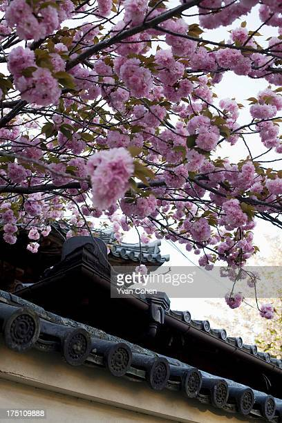 Sakura flowers hanging over a temple wall in Nara