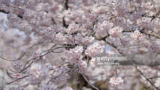 sakura flowers in autumn season japanese cherry tree blossom flower , soft focus flower background - symbolism stock pictures, royalty-free photos & images