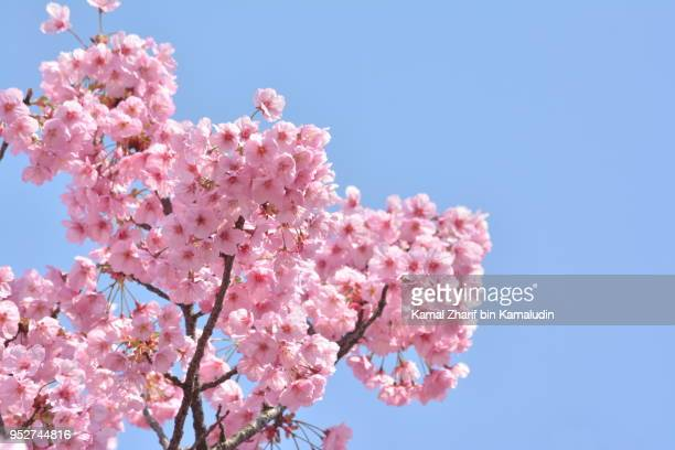 sakura full bloom - cherry blossom in full bloom in tokyo stock pictures, royalty-free photos & images