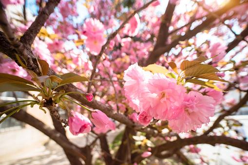 Sakura in Campus - gettyimageskorea
