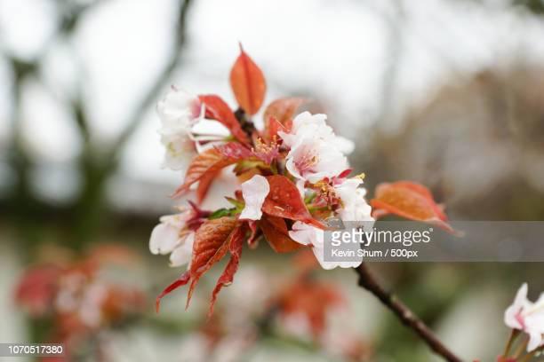 sakura in daigoji temple, koyoto, japan - kevin shum stock pictures, royalty-free photos & images