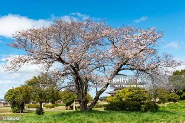 Sakura in full bloom