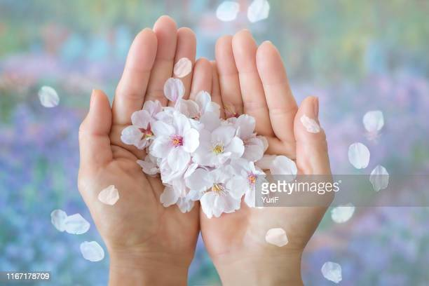 sakura in hands - petal stock pictures, royalty-free photos & images