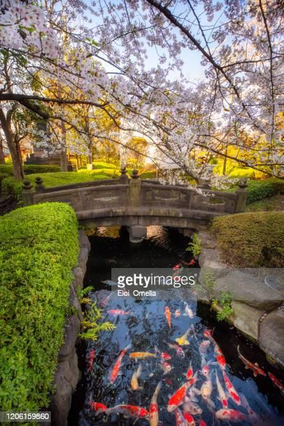 sakura en estanque del jardín japonés con carpa de peces koi, tokio, japón - tokio fotografías e imágenes de stock