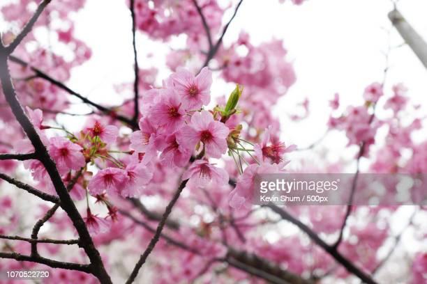 sakura in koyoto, japan - kevin shum stock pictures, royalty-free photos & images