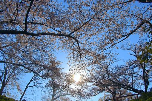 Sakura in Osaka - gettyimageskorea
