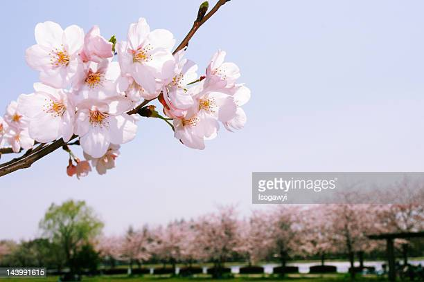 sakura in park - isogawyi stock pictures, royalty-free photos & images