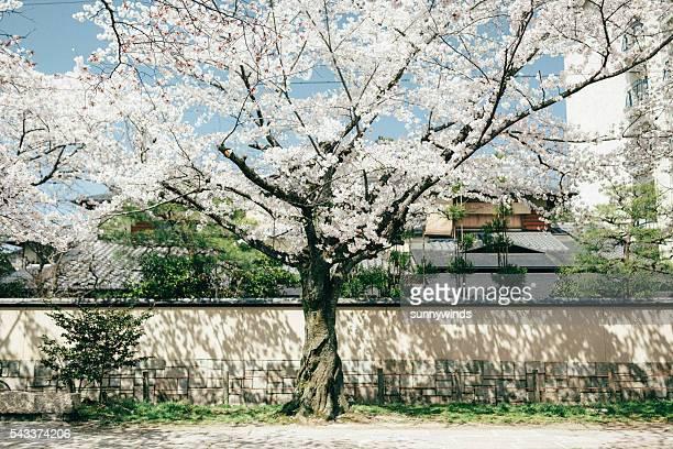 Sakura in the Sunshine
