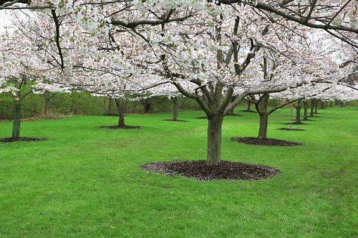 Sakura Japanese Cherry Blossom trees (Prunus serrulata) - gettyimageskorea