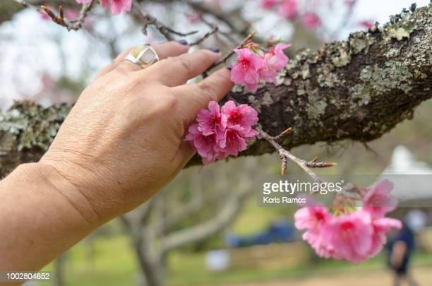 Sakura matsuri,Woman hand holding cherry blossom,  cherry blossoms Bunkyos, flowering cherry tree.