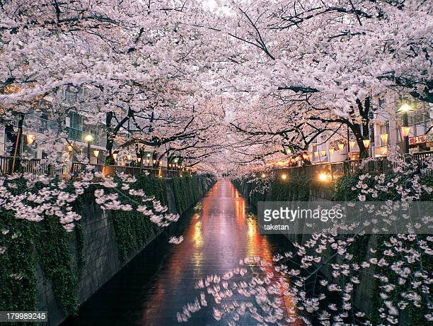 sakura on meguro river - japan stock pictures, royalty-free photos & images