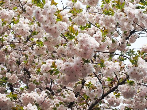 Sakura Peach or cherry blossom Japanese pink flowers, nature park outdoor background concept. Hanami festival spring begins 1095433468
