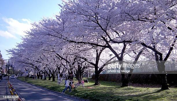 sakura - 山形県 ストックフォトと画像