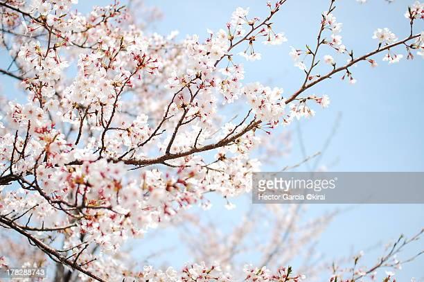 sakura - fleur de cerisier photos et images de collection