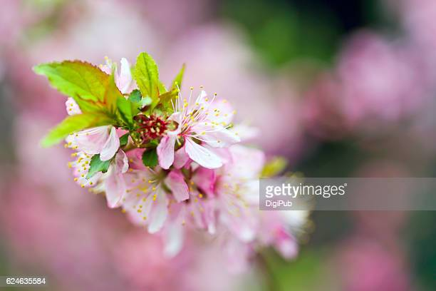 sakura (japanese cherry blossom tree) - march month stock photos and pictures
