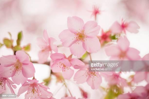 sakura (izu, japan) - cherry blossom stock pictures, royalty-free photos & images